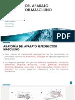 Anatomía Del Aparato Reproductor Masculino