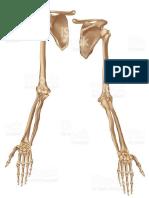 Huesos Pierna y Brazo
