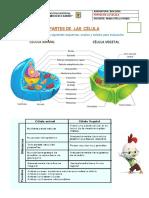 Partes de la Célula y funciones