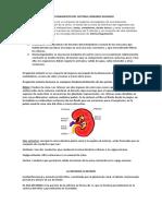 Funcionamiento Del Sistema Urinario Humano (1)