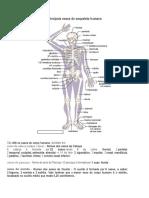 Principais Ossos Do Esqueleto Humano