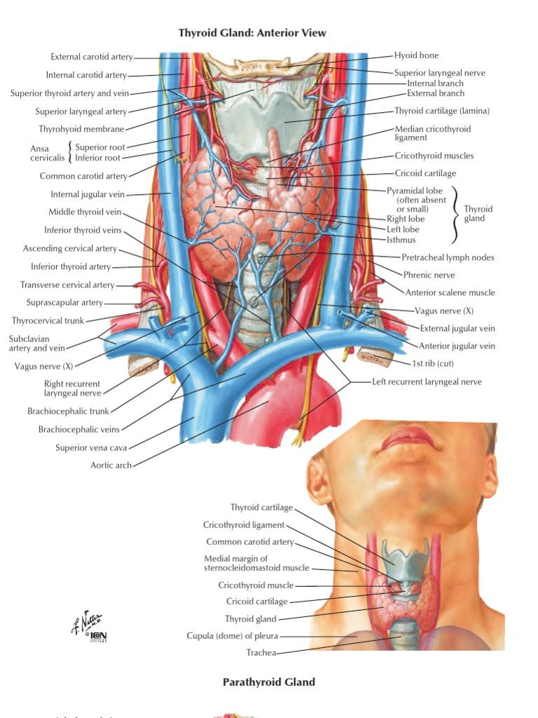 thyroidectomy | Common Carotid Artery | Neck