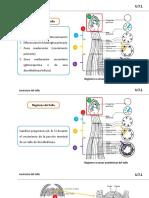 Clase_3_Anatomia_del_tallo.pptx