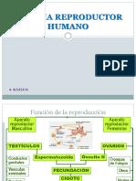 Ppt Sistemas Reproductor Femenino y Masculino