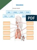 Sistema Respiratorio Basica