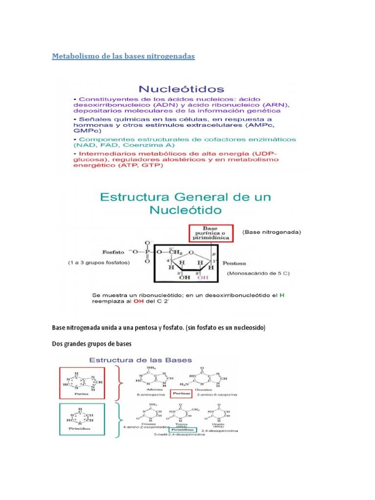 Metabolismo De Las Bases Nitrogenadas Biofísica Molecular