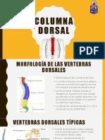 Columna Dorsal1 (2)
