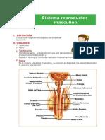 sistema reproductor masculino (1).docx