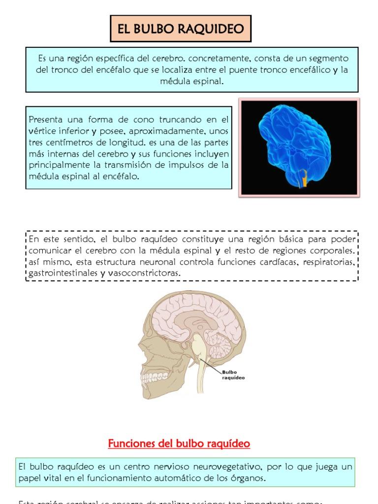 Bulbo Raquideo Cerebro órgano Anatomía