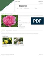 SALET rosa cespuglio arbusto grande | La Rosa del Borghetto – Perugia