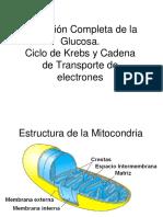 Metabolismo Central- Ciclo de Krebs y Cadena Respiratoria 2018
