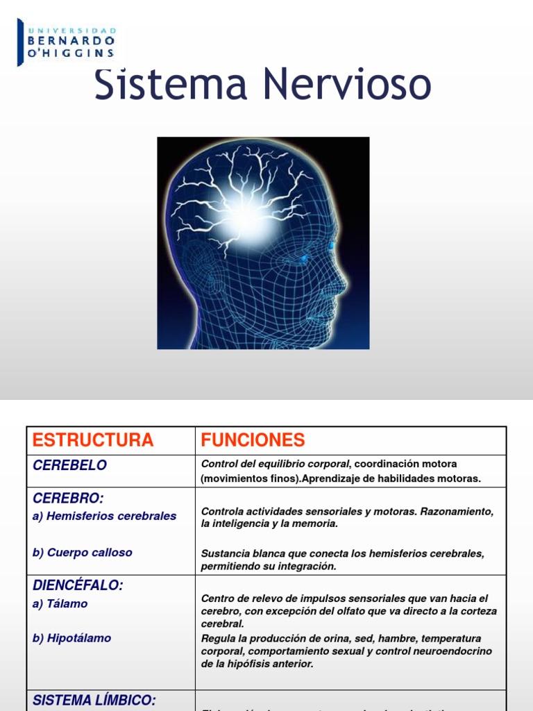 Sistema Nervioso Nerve Brain
