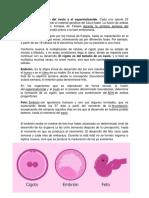 Cigoto, Embrion y Feto