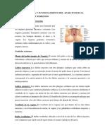 ESTRUCTURA DE MASCULINO Y FEMENINO.docx