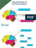 Material Didactico - Unidad Sensorial de La Corteza Cerebral - S2