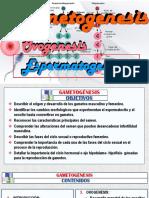 (4)a Espermatogenesis. Arteaga m. Modif.