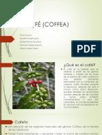 El Café (Coffea)