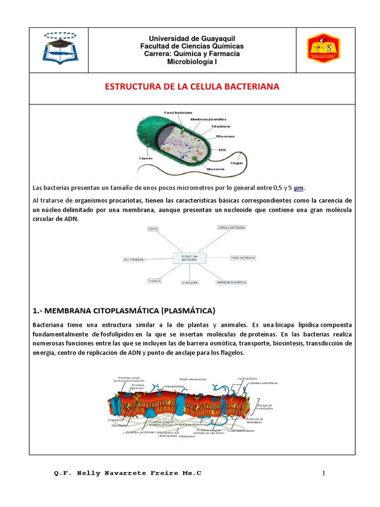 Estructura Bacteriana 1 Bacterias Bacterias Gramnegativas