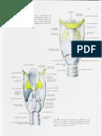 Cartilage Ns 2