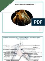 Componentes Cefálicos Equino Ppt (2)
