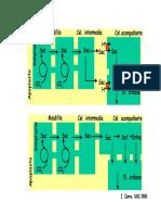 carga y descarga del floema.pdf