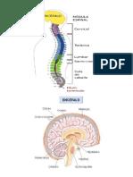 Encéfalo y Medula Espinal Gráfica