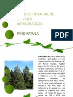 Pino Patula