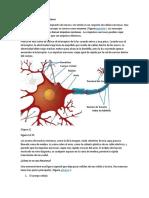 Neuronas e Impulsos Nerviosos
