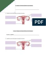 Ficha de Trabajo Sistema Reproductor Femenino