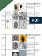 hongos micromicetos