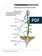 Corn Morphology