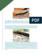 Ikan salamander.docx