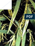 Characterizing agronomic response of rice genotypes to bacterial leaf streak disease in Uganda | IJAAR