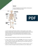 Sistema oseo (cintura pelvica)