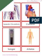 Tarjetas Del Aparato Circulatorio Letra Imprenta