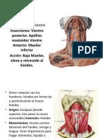 Músculos - Anatomía - ViRi
