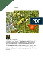 Guía de Cultivo Del Tomate