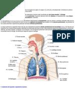 El Aparato Respiratorio Humano