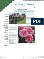 Rose in Hedge