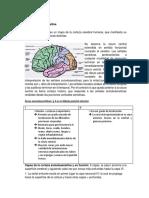Corteza somatosensitiva