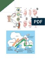 biologia embrionaria