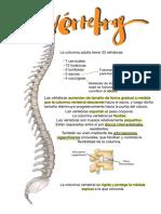 vertebras y articulaciones