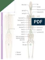 Osteopathy • Chapman's Reflex Points • Posterior