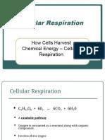 The cellular Respiration.pdf
