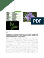 Solanum Altissimum