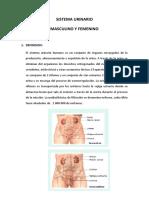 Sistema Urinario Masculino y Femenino