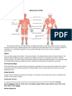 muscular systemAPE.docx
