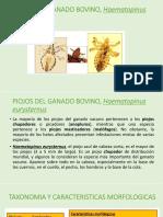 PIOJOS DEL GANADO BOVINO, Haematopinus Eurysternus