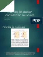 Potencial de Acción- Contracción Muscular