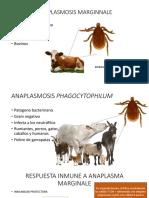 Inmunología anaplasma
